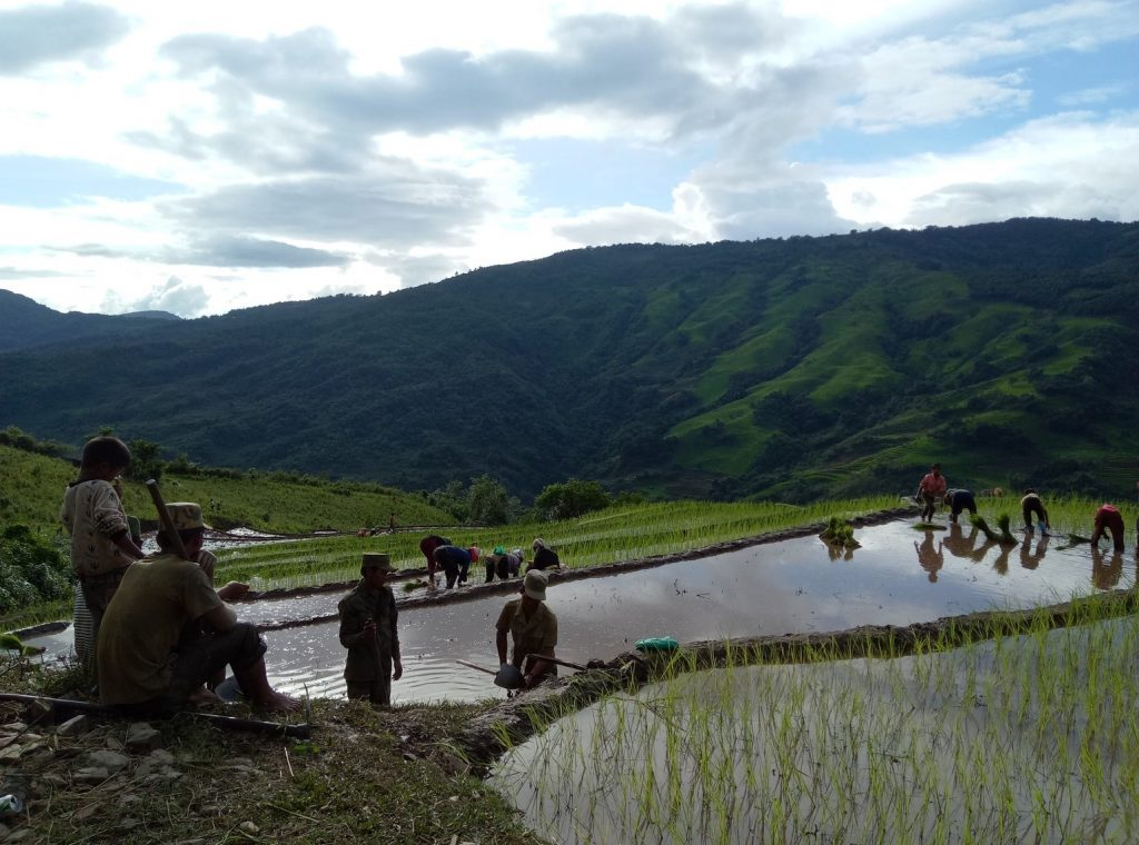 Transplanting Rice in Yaong Rai, by Hans Steinmüller